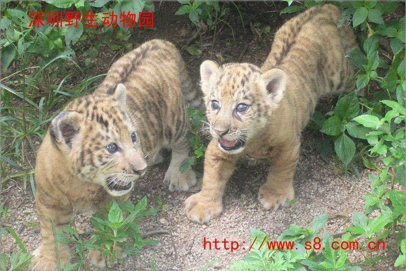 深圳动物园门票 西丽野生动物园套票