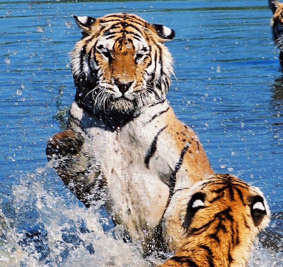 野生大型猫科动物
