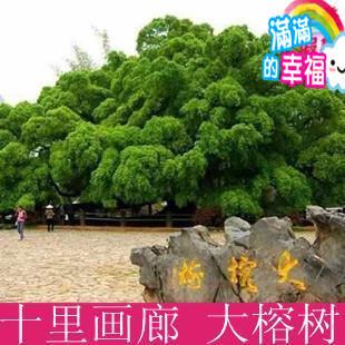 桂林旅游 阳朔旅游 十里画廊 大榕树图片